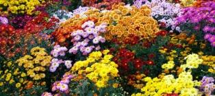 Бал хризантем. 2 дня в осінньому Криму